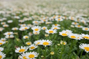 Daisies are blossom in spring