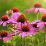エキナセアの種類と効果や効能!副作用や授乳中の危険性と花言葉も