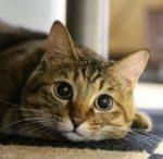 猫ひっかき病の症状や検査と治療法や抗生剤などの薬!何科?
